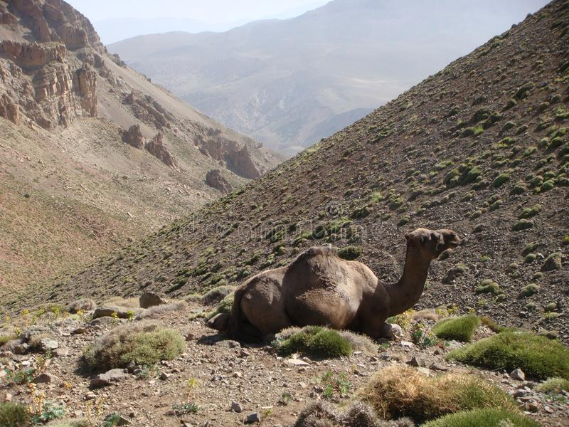 Eerste plan van een kameel in de bergen van de Atlas in Maroc royalty-vrije stock afbeelding