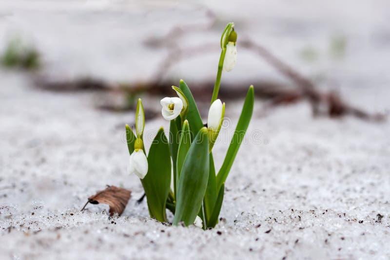 Eerste tedere sleutelbloemen Het bloeien gevoelig wild sneeuwklokjeclose-up in bos in sneeuw De achtergrond van de lente stock foto
