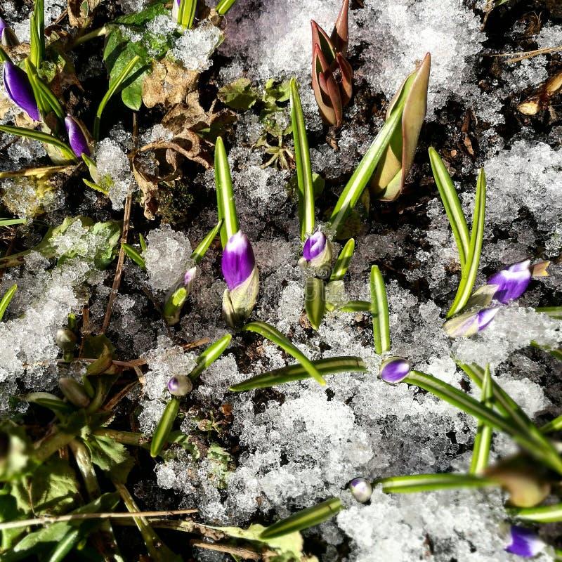 Eerste violette krokusbloemen stock afbeelding