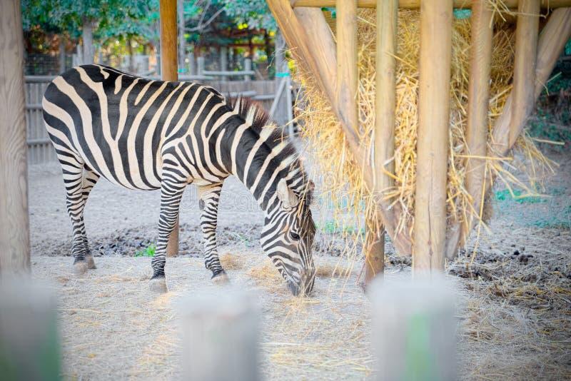 Eet de goed gegeven Zebra in gevangenschap hooilandbouwbedrijf stock foto's
