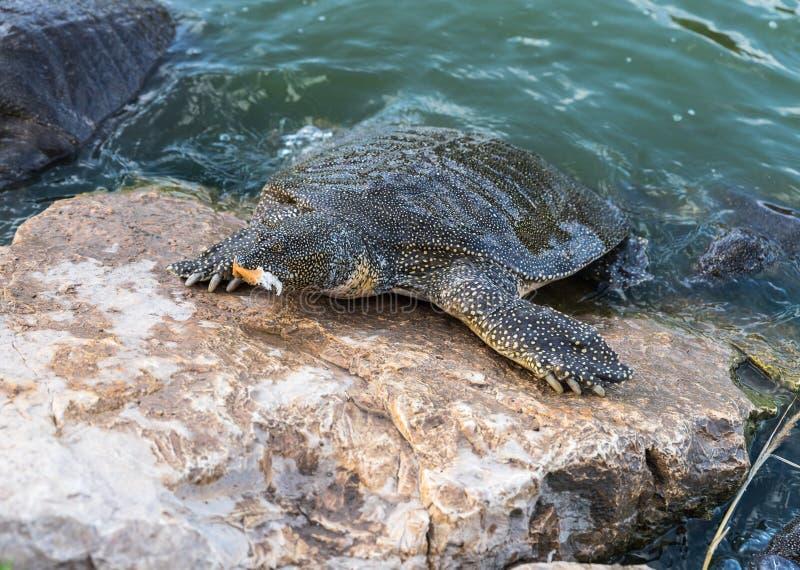 Eet soft-skinned schildpad van Nijl - Trionyx-triunguis - klimmen op het steenstrand en in Alexander River dichtbij Kfar Vitkin r stock foto's