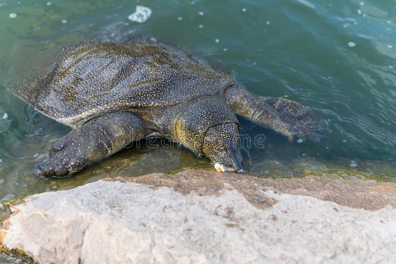 Eet soft-skinned schildpad van Nijl - Trionyx-triunguis - klimmen op het steenstrand en in Alexander River dichtbij Kfar Vitkin r stock foto