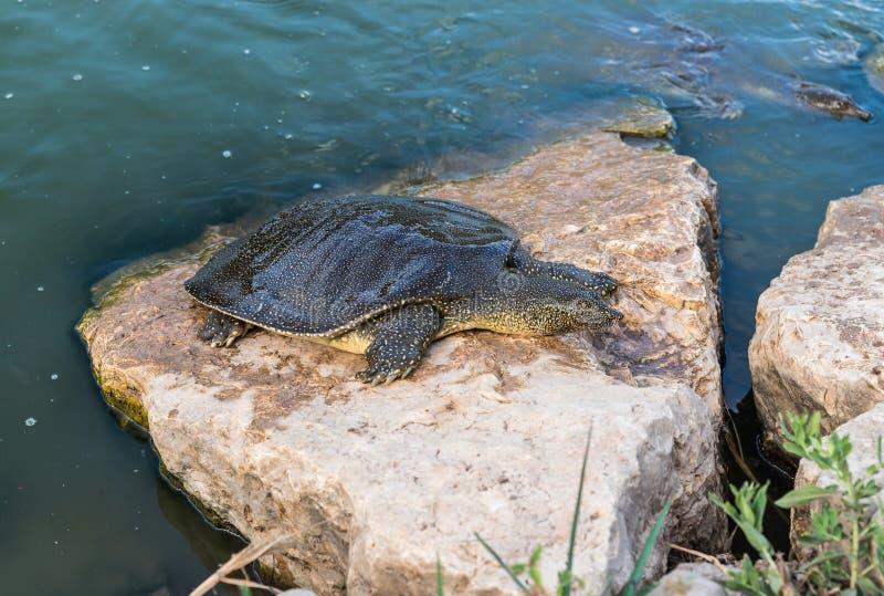 Eet soft-skinned schildpad van Nijl - Trionyx-triunguis - klimmen op het steenstrand en in Alexander River dichtbij Kfar Vitkin r royalty-vrije stock afbeeldingen