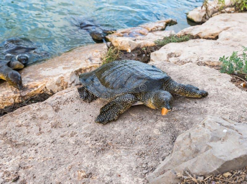 Eet soft-skinned schildpad van Nijl - Trionyx-triunguis - klimmen op het steenstrand en in Alexander River dichtbij Kfar Vitkin r stock fotografie