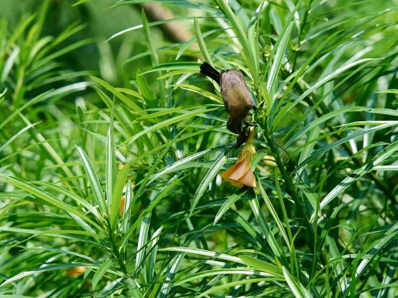 Eet wijfje olijf-Gesteund Sunbird op een Tak Zoete Nectar van Bloem in Tuin royalty-vrije stock foto's