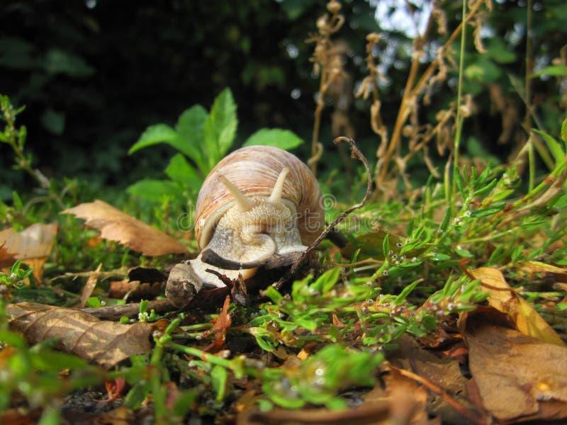 Eetbare die slak - ook schroefpomatia, roman slak of de slak van Bourgondië van zich het voor bewegen in groen gras dicht omhoog  royalty-vrije stock afbeelding