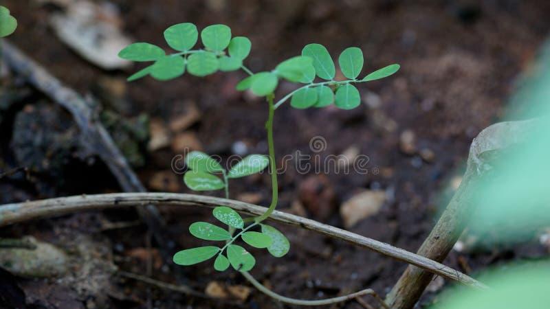 Eetbare moringa bladeren royalty-vrije stock afbeeldingen
