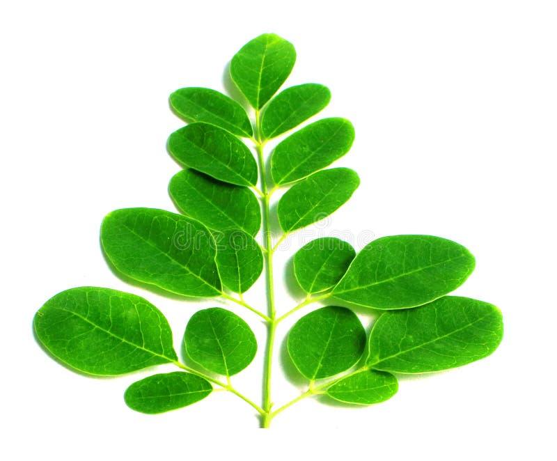Eetbare moringa bladeren royalty-vrije stock foto's