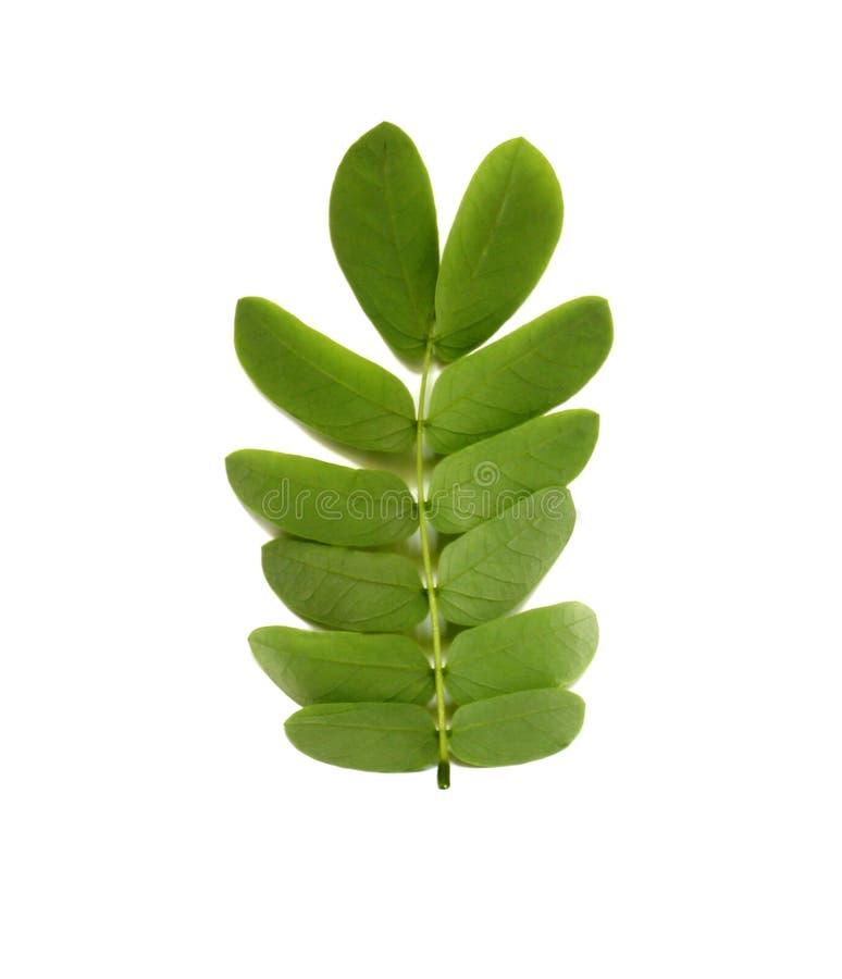 Eetbare moringa bladeren stock afbeeldingen