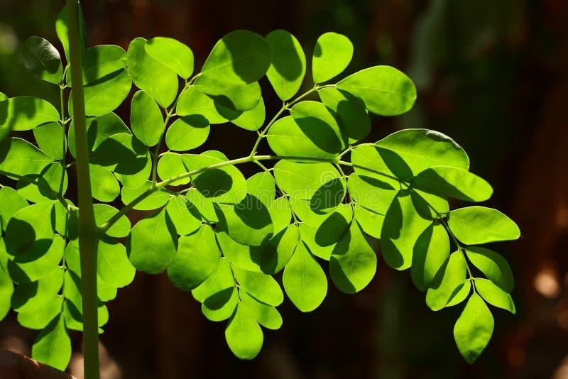 Eetbare moringa bladeren in zonlicht, stock foto's
