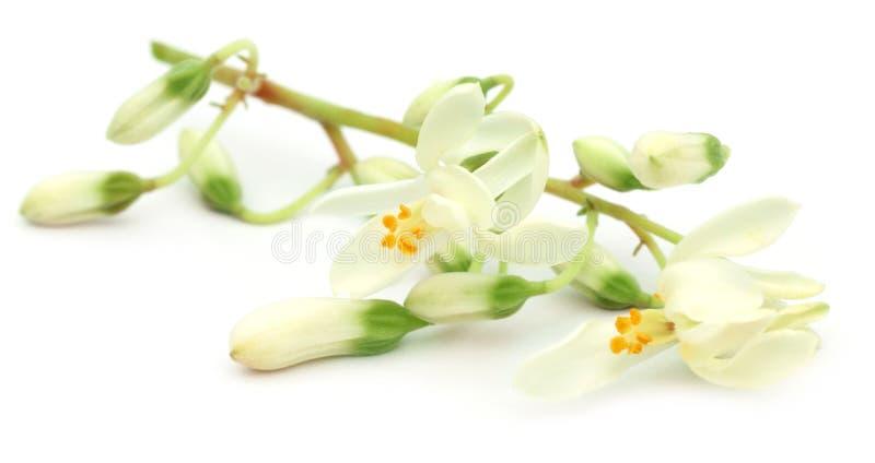 Eetbare moringa bloem stock afbeeldingen