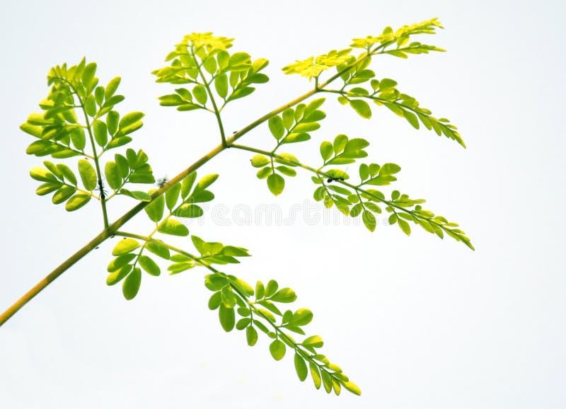 Eetbare moringa bloem stock afbeelding