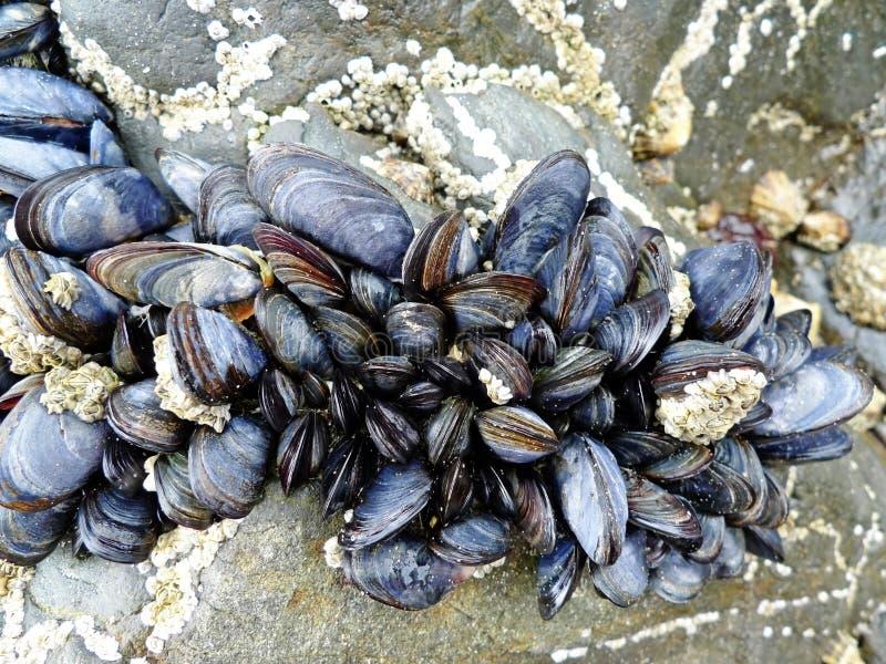 eetbare mosselen op stenen stock afbeeldingen