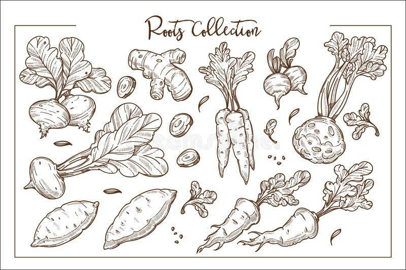 Eetbare organische die wortels bij landbouwbedrijf zwart-wit inzameling worden gekweekt stock illustratie