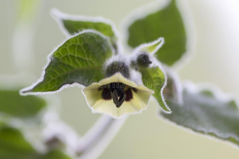 Eetbare smakelijke physalis van Physalisperuviana in bloei, groene bladeren op takken stock foto's