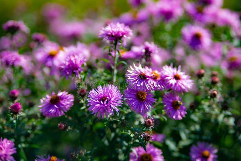 Eeuwigdurend Astra Violet Queen royalty-vrije stock afbeeldingen
