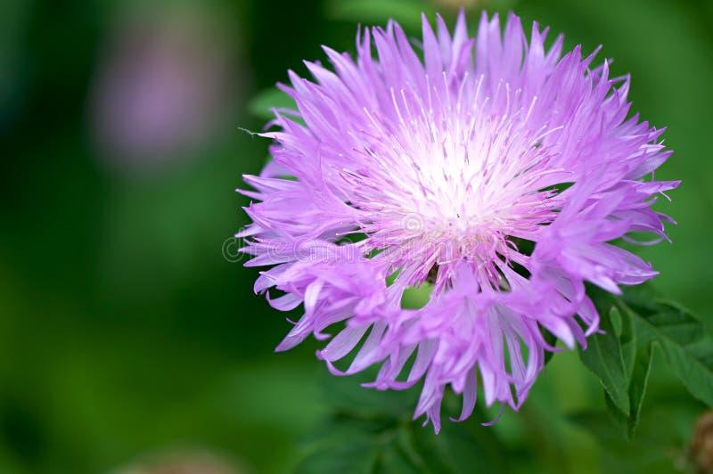 Eeuwigdurende kruidachtige de installatiewortelstok van de bloemweide royalty-vrije stock foto