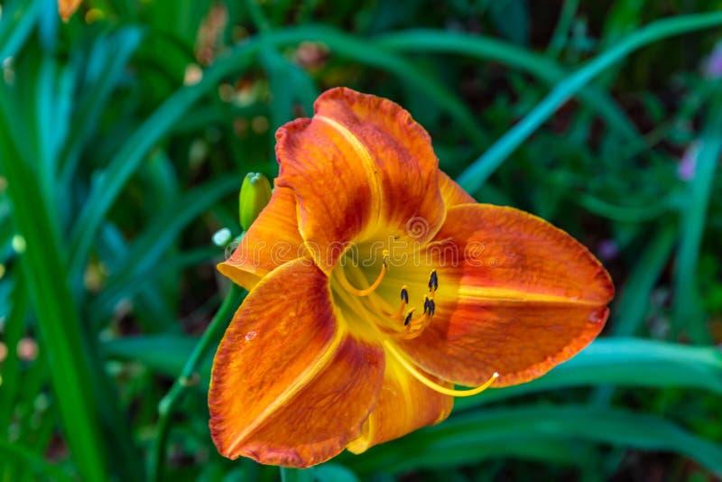 Eeuwigdurende Oranje of donkergele daylilies Hemerocallis royalty-vrije stock afbeeldingen
