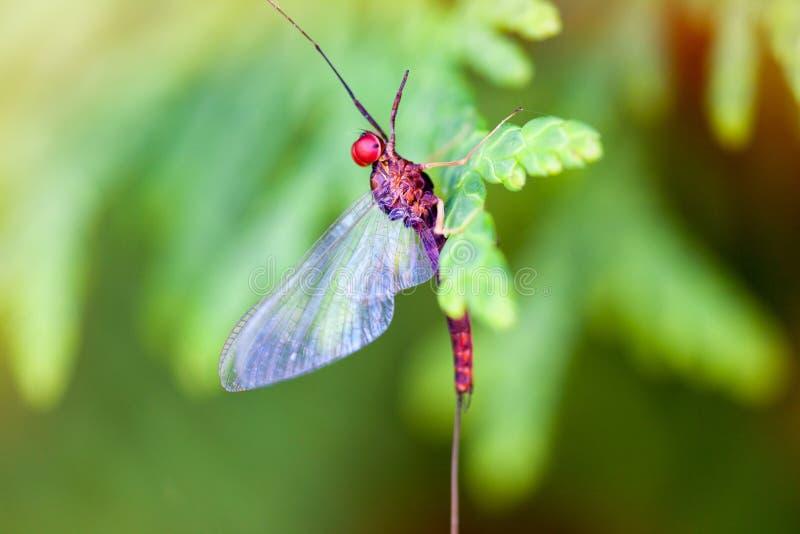 Efímera (Ephemeroptera) imagenes de archivo