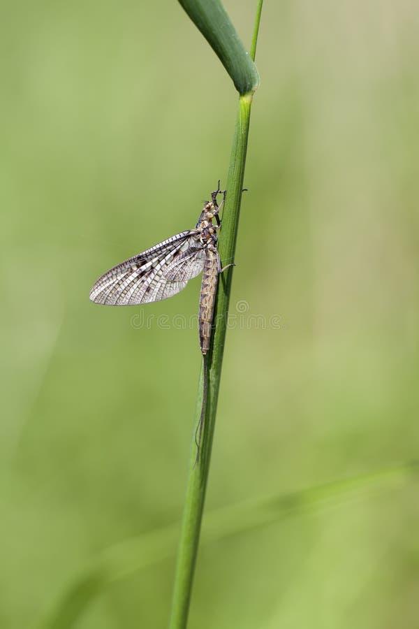 Efímera - Ephemeroptera imagen de archivo libre de regalías