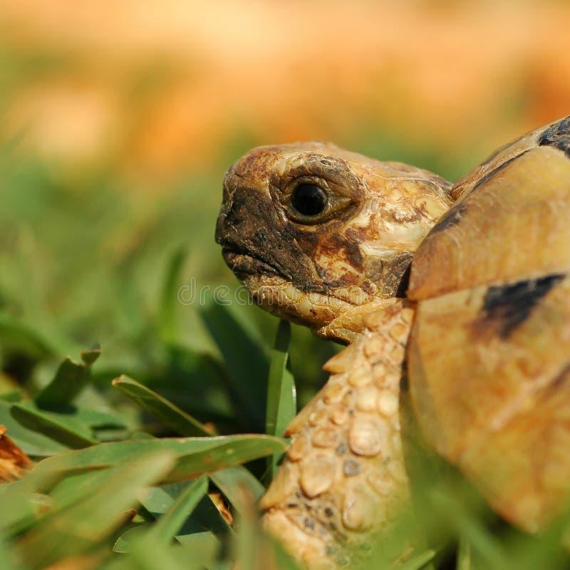 ef sköldpadda 01 arkivbilder