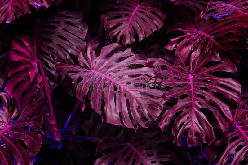 Efeito de fundo ultravioleta feito das folhas tropicais do monstera ilustração do vetor