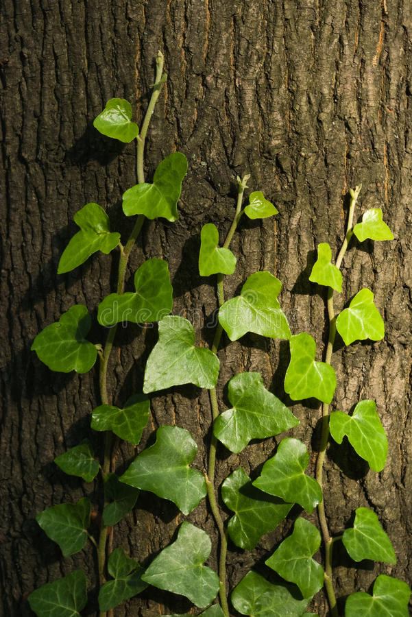 Efeu auf Baum lizenzfreie stockbilder