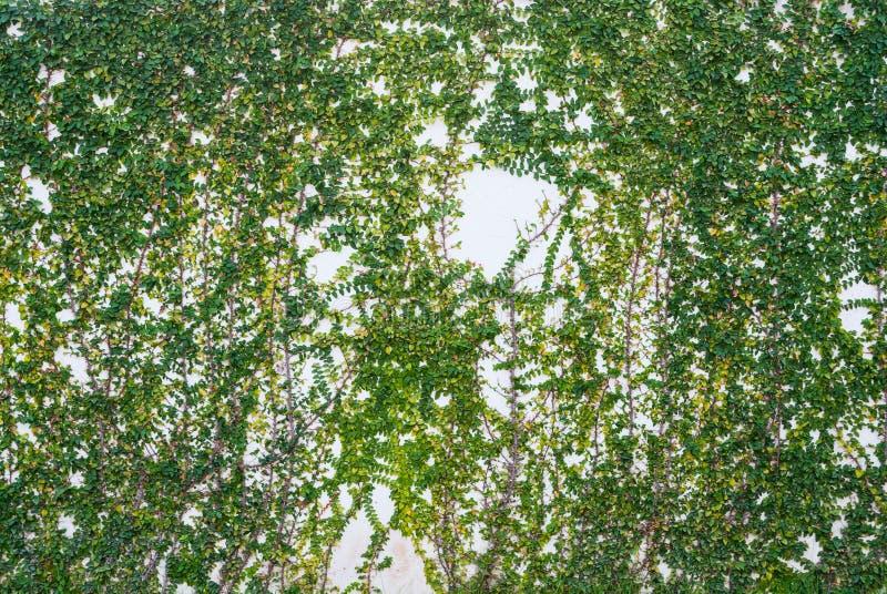 Efeu auf dem weißen Wand-Beschaffenheits-Hintergrund lizenzfreie stockfotografie