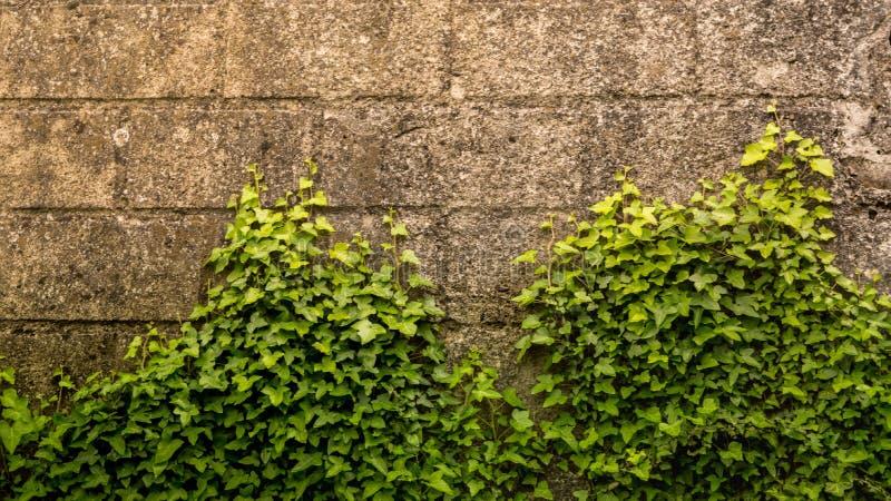 Efeu auf der Wand stockfoto