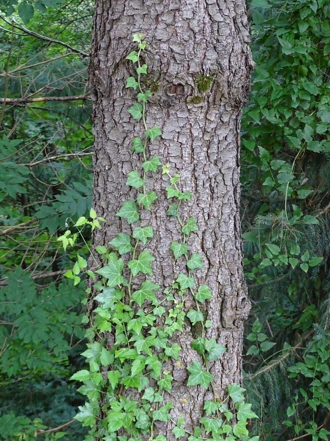 Efeu auf einem Baum lizenzfreie stockfotos