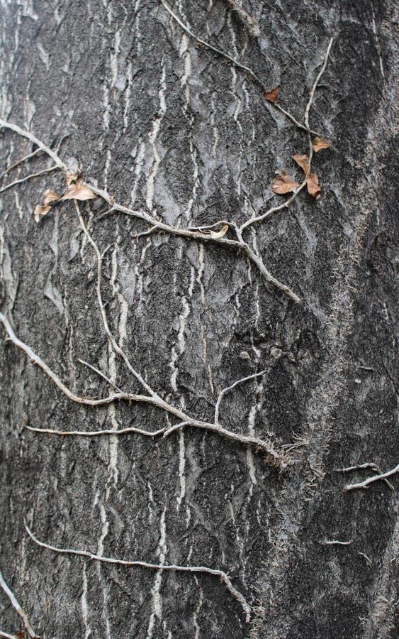 Efeu auf einem Baum getrocknet lizenzfreie stockfotografie