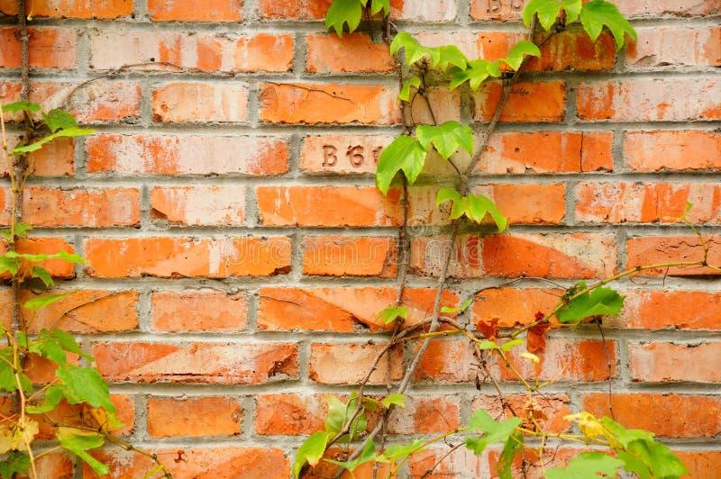 Efeu auf einer Backsteinmauer lizenzfreie stockfotos