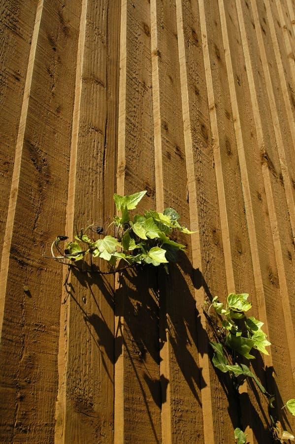 Efeu auf Holz stockbild