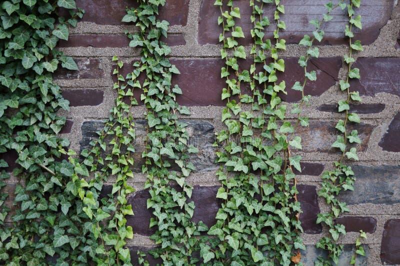 Efeu bedeckte Steinwand lizenzfreie stockfotos