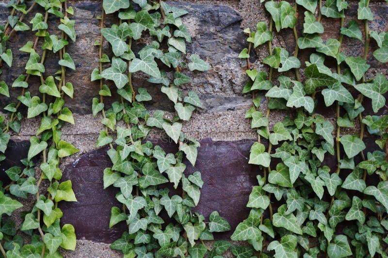 Efeu deckte Backsteinmauer ab lizenzfreies stockfoto