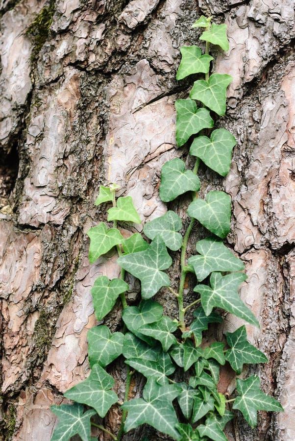 Efeu, der auf Kiefer wächst stockbilder
