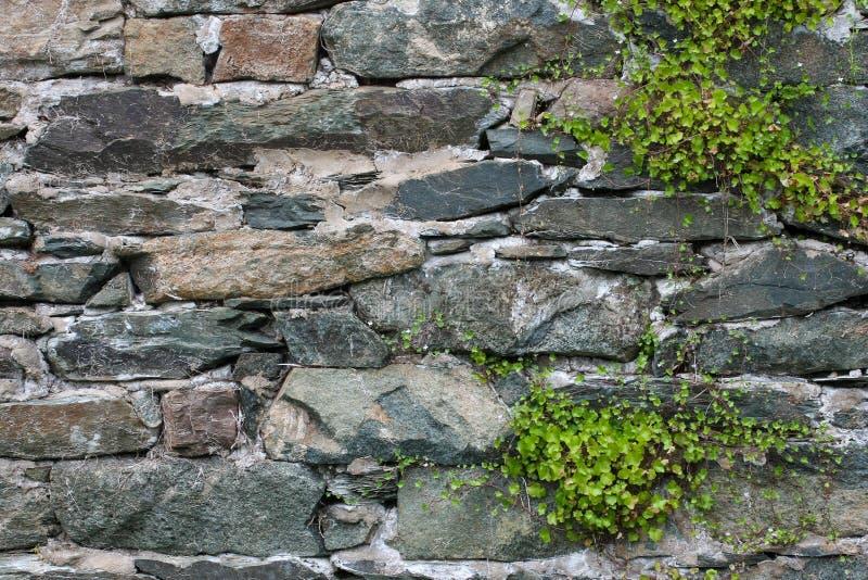 Efeu gegen Steinwand stockbild