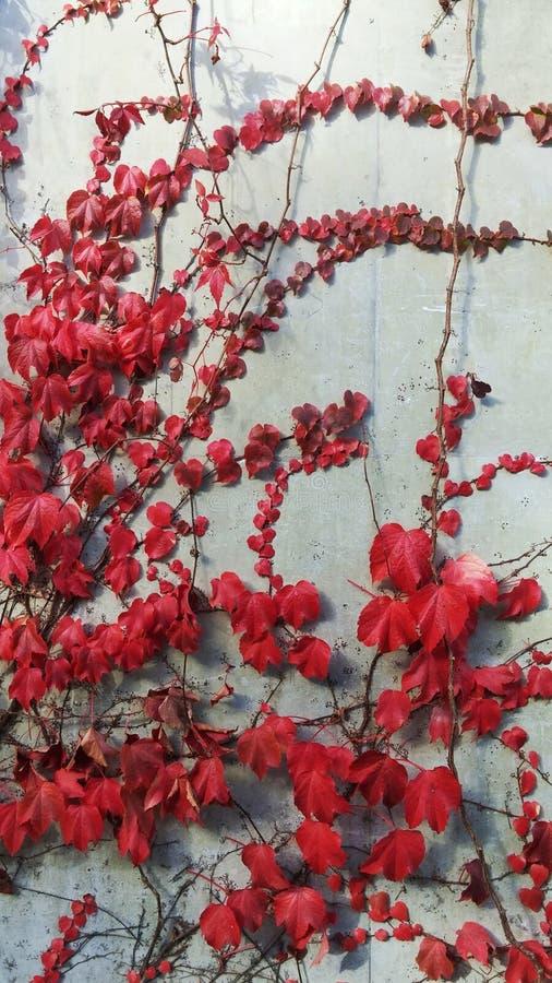 Efeu mit roten Blättern auf weißer Wand stockbild