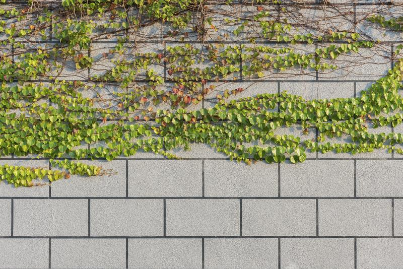 Efeu und Wand lizenzfreie stockbilder
