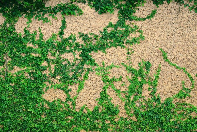 Efeu verlässt auf der Wand, Kriechpflanze auf der Wand lizenzfreie stockfotografie