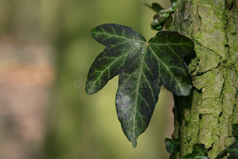 Efeu-Blatt Stockfoto. Bild Von Gartenbau, Englisch, Efeu