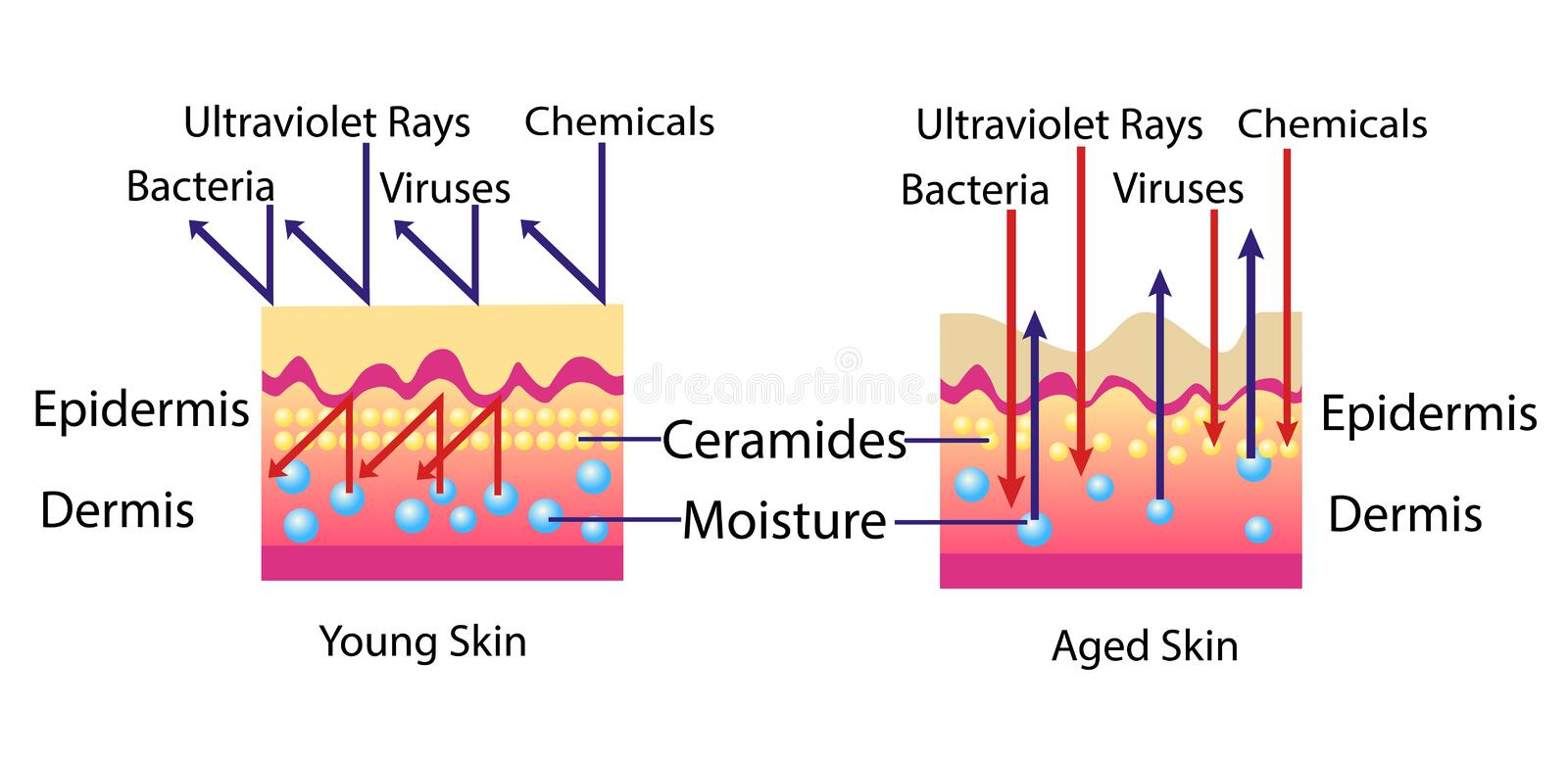 Effect of environment on the skin, vector diagram for cosmetological illustration. Isolated stock illustration