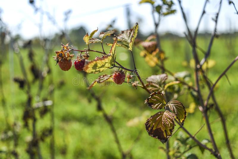 The effects of drought, dried raspberry on the bush in the summer. stock image