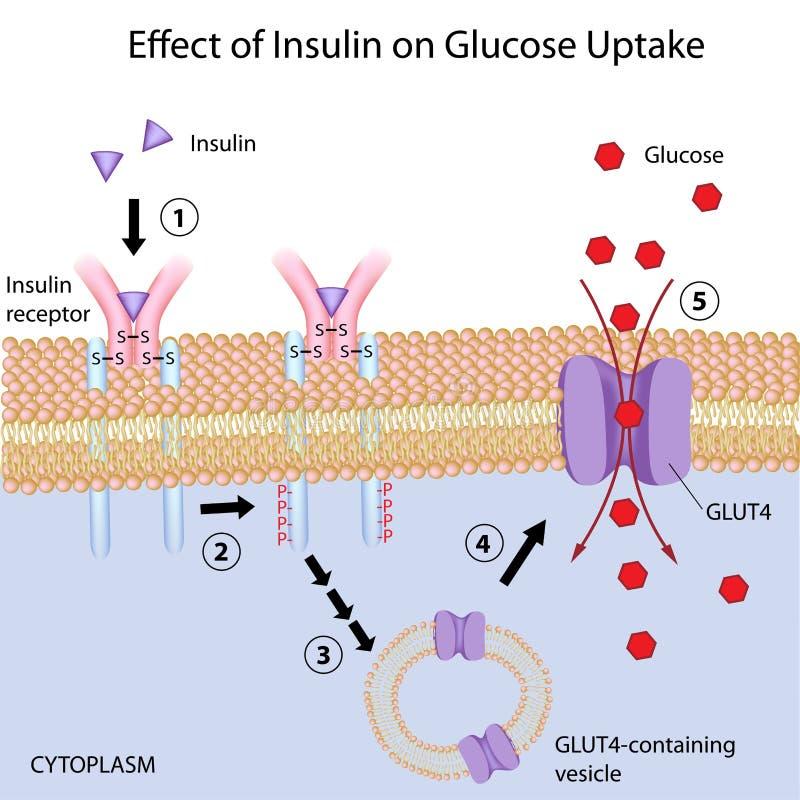 Effetto di insulina sull'assorbimento del glucosio illustrazione di stock
