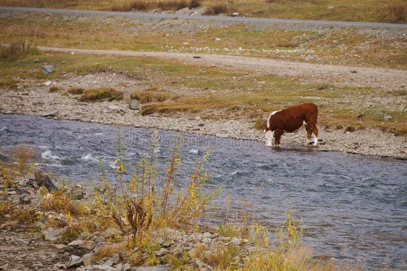 Effrayez l'eau potable en rivière, montagnes d'Altai, Russie photos stock