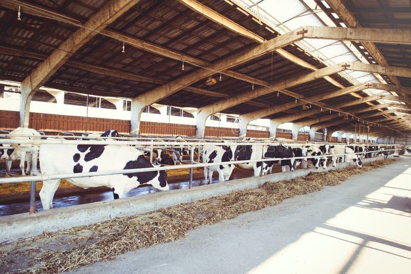 Effrayez le concept de ferme de l'agriculture, l'agriculture et le bétail - un troupeau de vaches qui emploient le foin dans une  photos stock