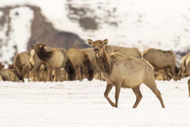 Effrayez les élans dans la neige profonde en hiver sur le refuge national d'élans photographie stock libre de droits
