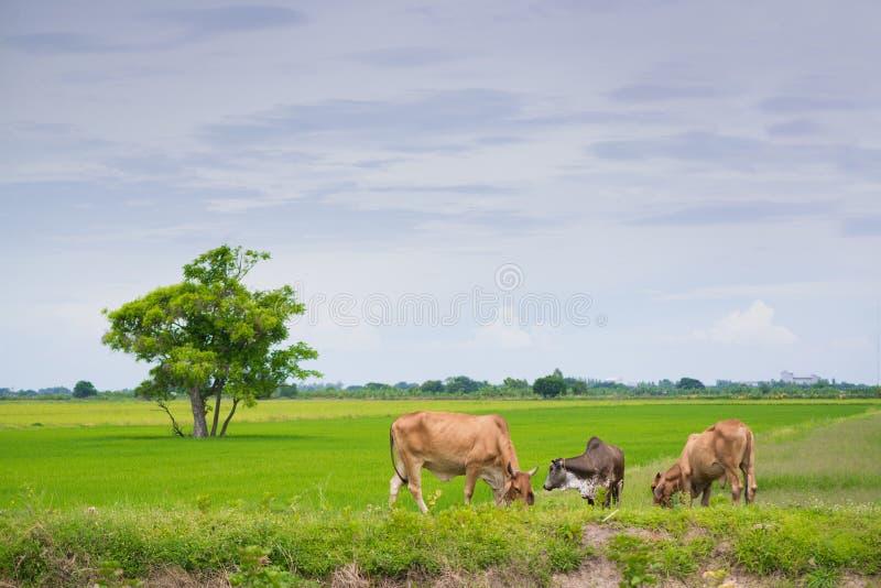 Effrayez manger la paille d'herbe ou de riz dans le domaine de riz avec le ciel bleu, rura photos libres de droits