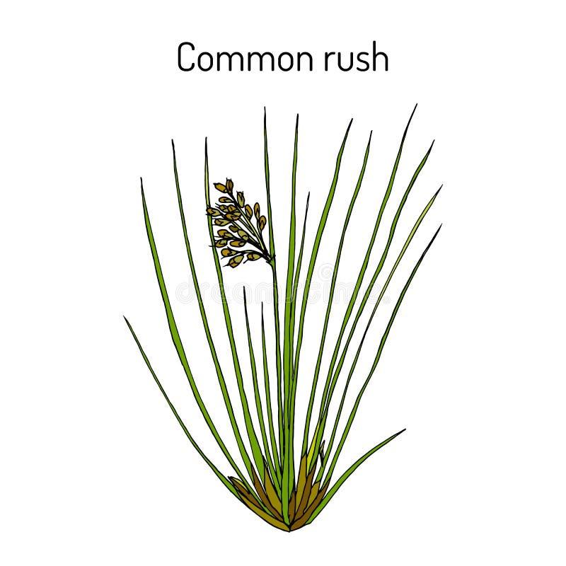 Effusus do Juncus da precipitação comum ou macia, planta medicinal ilustração royalty free