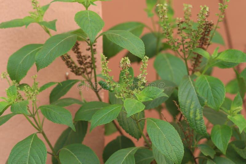 Efinrin - basilico africano che fiorisce in un giardino fotografia stock